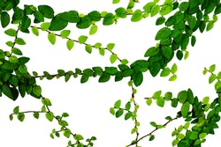 climbing Fig tree(Creeping Fig, Creeping Rubber Fig) Isolated on white Background,Ivy has creeping or vining habit, used in gardens and landscapes where it covers ground and climbs up trees and walls.