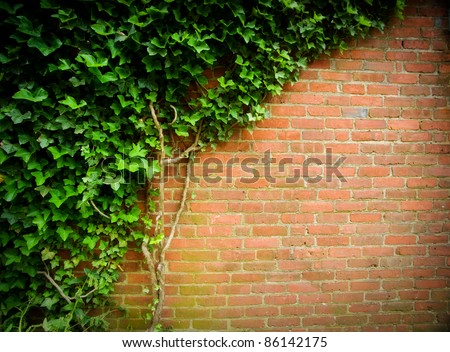 Climbing green ivy on an old brick wall outdoors.