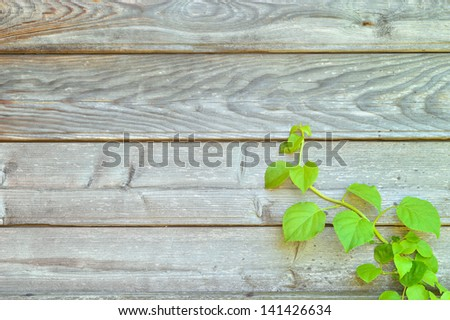 Climbing hydrangea on a rustic wooden wall with copy space. Botany background.