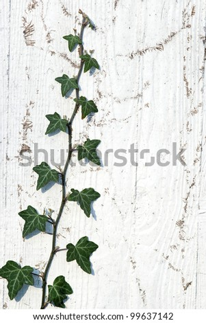 Climbing ivy on the white plaster walls.