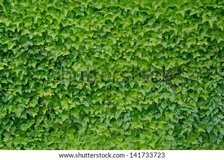 stock-photo-climbing-ivy-plant-hedera-helix-background-141733723.jpg