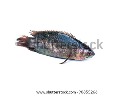 Climbing perch fish on a white background