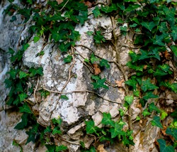 climbing plant attached to a rock