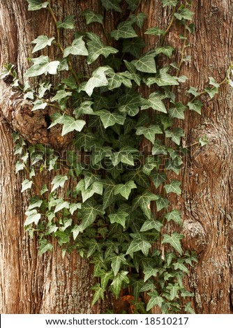 Climbing plant growing on a tree.