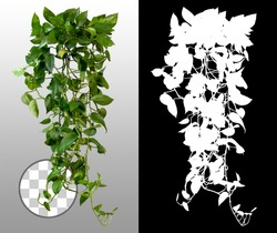 Climbing plant in summer on transparent background via an alpha channel of great precision. Very high quality mask without unwanted edge. High resolution for professional digital composition.