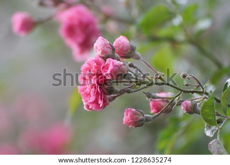Climbing roses in apring outdoor on a wall  #1228635274