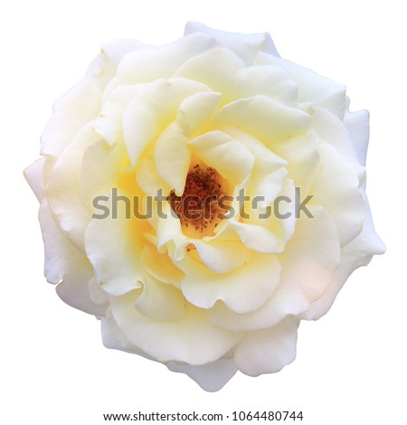 clipping paths,rose white blooming isolated on white background,beautiful flower for valentine festive,close up white flower,Rosa hybrida is scientific name,macro of petals floral and pollen