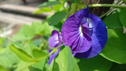 Clitoria ternatea also known as Asian pigeonwings.
