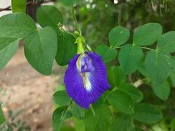 Clitoria ternatea, Asian pigeonwings, blue bell vine, blue pea, butterfly pea, cordofan pea, Darwin pea plant flower