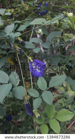 Clitoria ternatea, commonly known as Asian pigeonwings, bluebellvine, blue pea, butterfly pea, cordofan pea and Darwin pea, is a plant species belonging to the Fabaceae family.