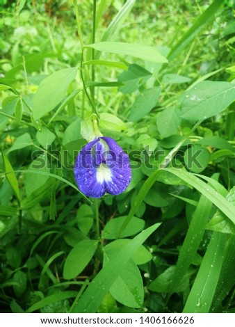 Clitoria ternatea, commonly known as Asian pigeonwings,bluebellvine, blue pea, butterfly pea, cordofan pea and Darwin pea, is a plant species belonging to the Fabaceae family. In traditional Ayurvedic