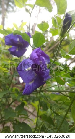 Clitoria ternatea commonly known asAsian pigeonwingsbluebellvineblue pea butterfly pea cordofan peaandDarwin pea is a plant species belonging to the familyFabaceae