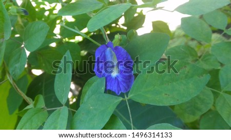 Clitoria ternatea, commonly known as Asian pigeonwings, bluebellvine, blue pea, butterfly pea, cordofan pea and Darwin pea is a plant species belonging to the family Fabaceae.