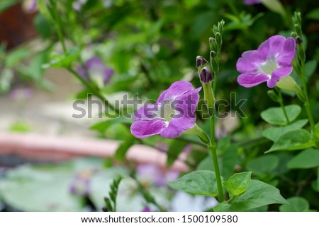 Clitoria ternatea, commonly known as Asian pigeonwings,[1] bluebellvine, blue pea, butterfly pea, cordofan pea and Darwin pea,[2] is a plant species belonging to the family Fabaceae.