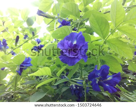 Clitoria ternatea, commonly known as Asian pigeonwings, bluebellvine, blue pea, butterfly pea, cordofan pea and Darwin pea, is a plant species belonging to the family Fabaceae.
