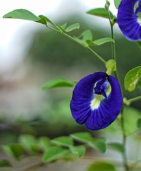 Clitoria ternatea, commonly known asian dove, bluebellvine, blue bean, butterfly bean, cordofan bean and Darwin bean, is a plant species belonging to the Fabaceae family. With a blurry background.