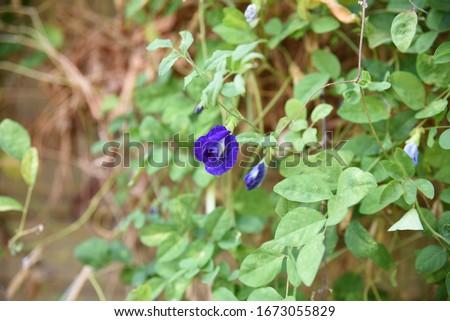Clitoria ternatea, Fabaceae: Liana clitoris in the garden of herbs in Asia