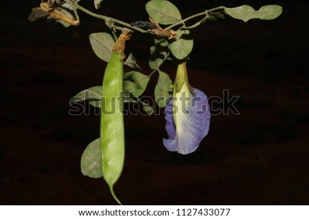Clitoria ternatea: flowers and seeds are reported with medicinal properties. Genus name comes from the Latin word clitoris meaning clitoris for a characteristic of the flower