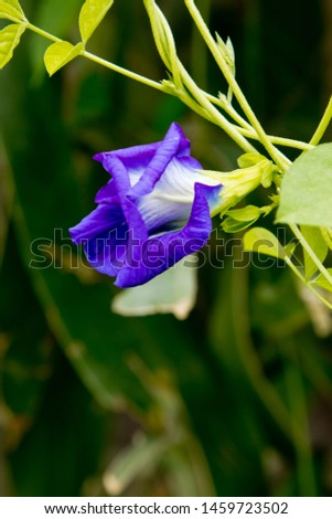 Clitoria ternatea or Asian pigeonwings, bluebellvine, blue pea, butterfly pea, cordofan pea and Darwin pea, is a plant species belonging to the family Fabaceae