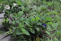 Clitoria ternatea or commonly referred to as butterfly pea flower is known as a flower that can be made into a drink that has good health effects. These flowers are usually blue or purple in color