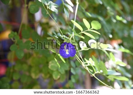 Clitoria ternatea: the blue clitoris flower blooms on a vine in the garden in summer