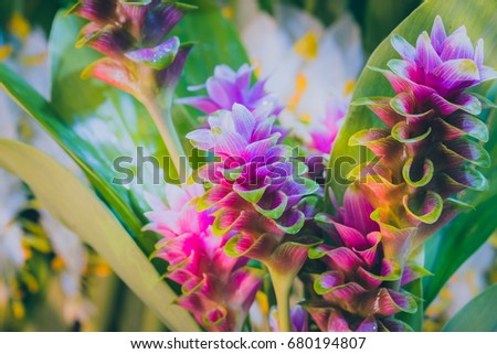 clos-up pink flower of Pink Siam Tulip or Curcuma sessilis flower It is a flower with a beautiful pink color to blossom when it enters the rainy season in Thaialnd. #680194807