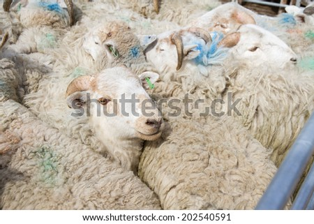 Close company - Sheep in pen at livestock market in UK.