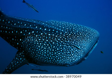 Giant Whale Shark http://www.shutterstock.com/pic-38970049/stock-photo-close-encounter-with-a-giant-whale-shark.html