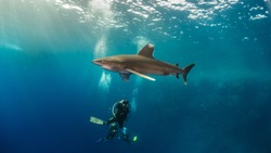 close encounter with oceanic white tip with scuba diver , Brother island Egypt - big brother