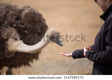 Close encounters with n African ostrich  Foto stock ©