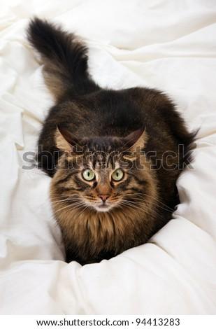 Close image of lying cat