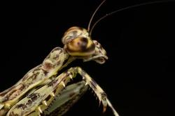 close macro mantis green and black