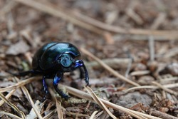 close of of a Anoplotrupes stercorosus dor beetle, blue beetle in the woods. low angle photografy at the posbank Netherands. with copy space for text. vertaling: blauwe kever