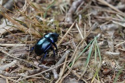 close of of a Anoplotrupes stercorosus dor beetle, blue beetle in the woods. low angle photografy at the posbank Netherands vertaling: blauwe kever