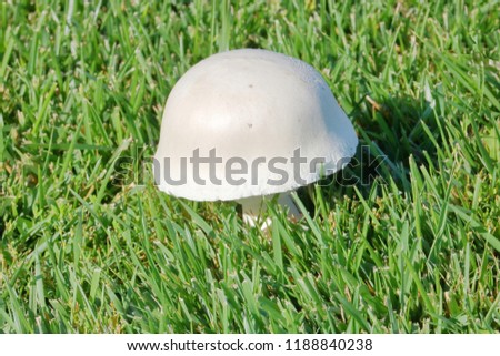 Close on a common white mushroom, in the jumbo category, grows among the grass on a sunny Fall day.
