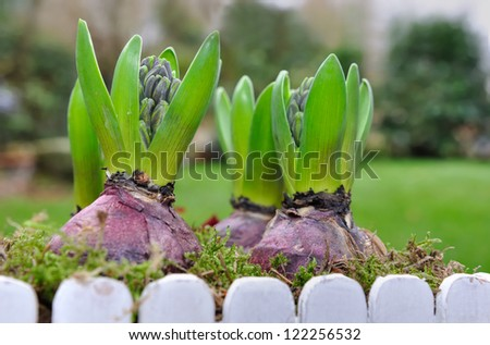 close on flowering hyacinths in a flower pot outdoor - stock photo