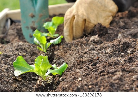 close on the hands of a man planting seedlings salad in a vegetable garden