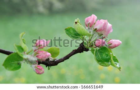 close on wet pretty pink flowers of an apple tree