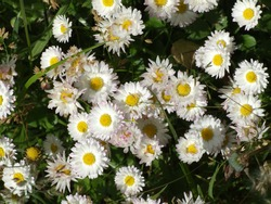 Close photo of small white marguerites flowers among green grass