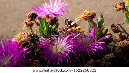 Close picture of a feeding butterfly on purple flowers. Picture of small Madeira island insect with local flowers vegetation.