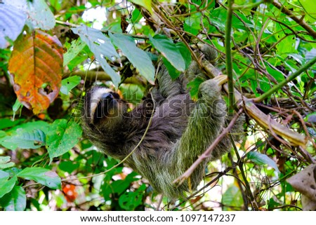 Close picture of a sloth hanging in the branch of an exotic tree in Costa Rica