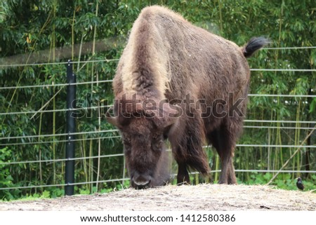 Close picture of buffalo at the zoo.