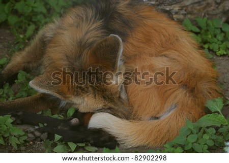 Close portrait of a Red Fox