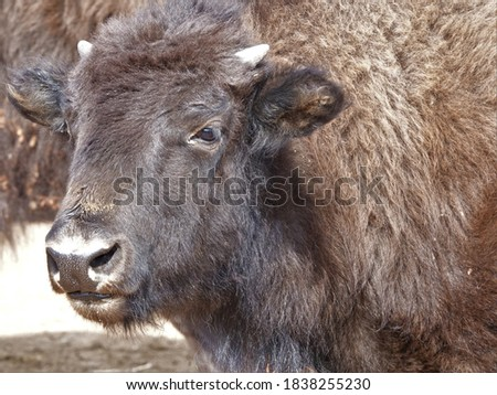 Photo of  Close portrait of a yearling bison during the Custer State Park Bison roundup.