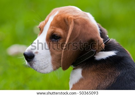 Close portrait of dog head. Beagle puppy. Green grass on background - stock photo