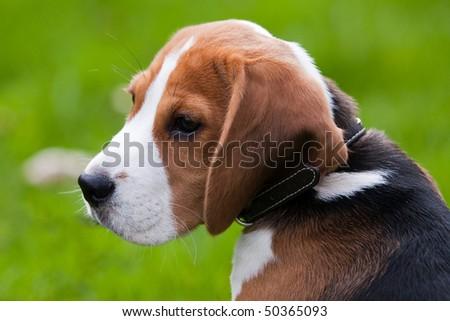Close portrait of dog head. Beagle puppy. Green grass on background