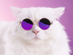 Close portrait of white furry cat in fashion sunglasses. Studio photo. Luxurious domestic kitty in glasses poses on pink background wall