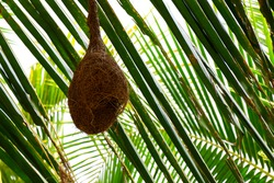 close shot of Baya weaver bird nest hanging in palm tree