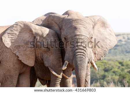 Close - The African bush elephant is the larger of the two species of African elephant. Both it and the African forest elephant have in the past been classified as a single species.