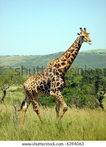 Close to a giraffe in South Africa on a safari